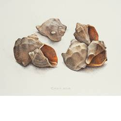 Composition with shells | still-life painting in watercolor by Chris Herenius | Exclusive Dutch Master Art | View and buy the best artworks online now