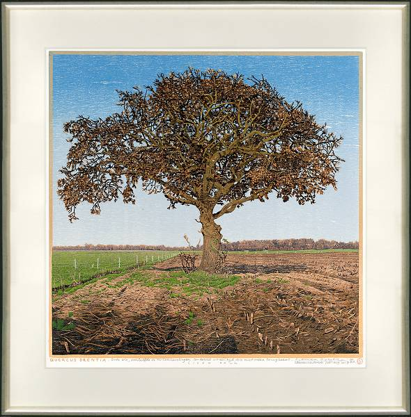 Quercus Drentia